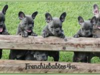 These stunning blue and blue fawn sable French Bulldog