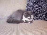 STUNNING CFA PERSIAN MALE KITTEN FOR SALE. WE CURRENTLY