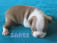 Beautiful Boston Terrier Puppies Located In: Cullman,