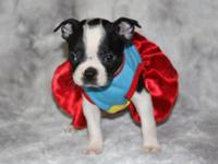 I have two stunning boston terriers puppies available.