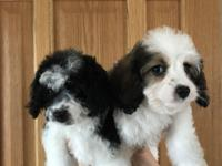 """Fully vaccinated"" & gorgeous Cavapoo pups available"