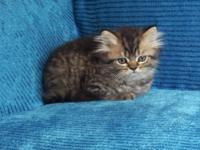 EXTREMELY STUNNING CFA PERSIAN KITTENS FOR SALE. WE