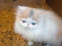 Two gorgeous flat faced CFA Pure Persian female kittens