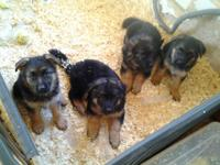 These are stunning Champion Sired puppies born 2/28, 1
