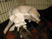 Boxer young puppies: (Born November 26) Ready Jan 26 or
