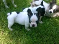 PERFECT LITTLE FRENCHIES... READY TO GO... HEALTHY