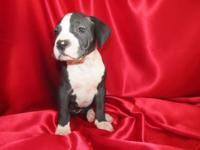 Little female Pit Bull pup is absolutely stunning. Dual