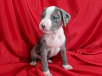 The rare Merle Pit Bulls are absolutely stunning. Pups