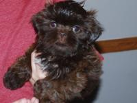 Sensational strong dark chocolate female shih tzu