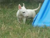 Stunning English Bull Terrier Puppies Available Now!!
