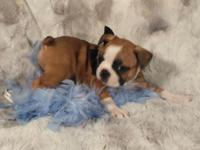 I have four CKC registered male fawn/white boston