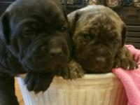Limited!! Gorgeous female Cane Corso puppies! Iccf and