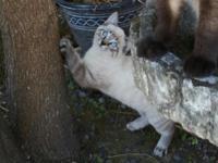 Elsa is a gorgeous female lynxpoint Siamese kitten. She