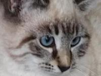 Elsa is a gorgeous female lynxpoint Siamese kitten. She