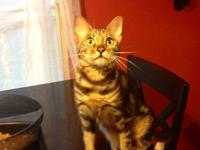 Diamond is a beautiful female marble Bengal I have for