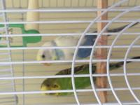 Meet Sky, a stunning female parakeet which does not