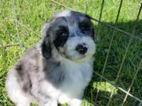 Remington is a blue Merle and white tuxedo nonshedding