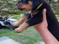 We have 3 beautiful Rottweiler puppies available from
