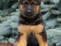 stunning German Shepherd Puppies Male And