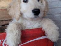 This pleasant blonde lady F1b Goldendoodle birthed to