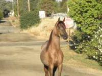 I have a 2 yr 2mos old Arabian colt 14.3 hh with an