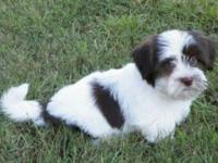 Oscar is a stunning chocolate white Havanese with the