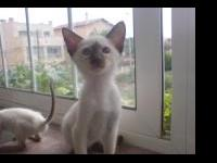 Stunning seal point Kittens Available Now Text/call or
