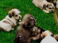 Stunning Lhasa Apso puppies, males and females awaiting