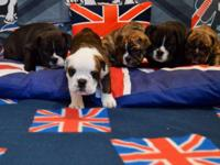 All puppies are currently being DNA colour tested for