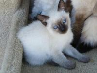 Sven is an absolutely perfect male sealpoint Siamese