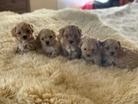 Gorgeous Maltipoo Puppies! 6 lively boys, and 3 lovely