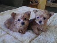 I have 2 family increased, light brown Morkie ladies