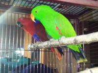 Great disposition. This Pair of Solomon Island Eclectus