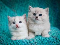 Chunky Bluepoint ragdoll kittens 3 genaration pedigree