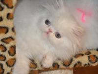 Sensational Persian and Himalayan kitties readily