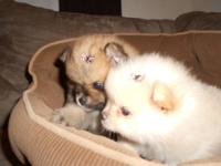 Stunning 6 week old pomeranian puppies. Both are