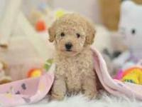 Animal Type: Dogs STUNNING AND BEAUTIFUL POODLE PUPPY