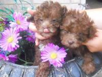 Stunning purebreed toy poodle puppies, born 5/26/12,