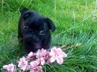 Amazing quality fawn pug puppies. They have been