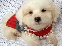 BEAUTIFUL Maltese Bichon Frise Male puppy NOW Ready for