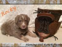 Stunning Toy Red Merle Male Australian Shepherd Puppy ""