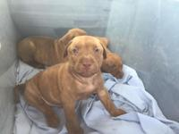8 weeks old Rednose pitbull puppies for sale. Looking