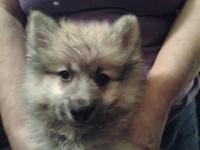 I have one sable Pomeranian young puppy for sale. He