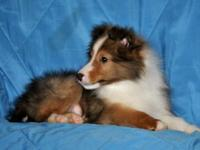 Melcolme is an incredibly good looking Sheltie young