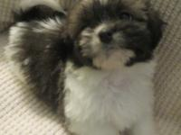 READY TO GO 9 weeks old Standard, purebred Shih Tzu