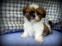 We have a litter of top quality Shih Tzu puppies