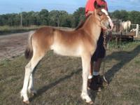 Mavie is a wonderful 6 month old Shire/Haflinger cross.