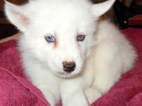 This beautiful Siberian Husky is ready for adoption. He