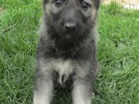 Stunning Silver Sable German Shepherd Puppies for sale,