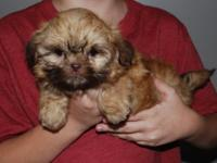 Sensational SOLID RED female shih tzu infant, will be 8